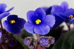 Macro photo of a flower of an African violet Stock Images
