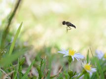 Macro photo of a flower fly flying over small daisies stock photo