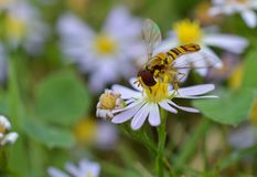 Macro photo of a flower fly on a small daisies royalty free stock photography