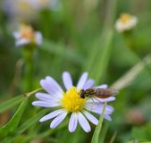 Macro photo of a flower fly on a small daisies stock image