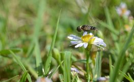 Macro photo of a flower fly on a small daisies royalty free stock photos