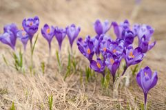 Alpine crocuses blossom in the mountains of the Carpathians on top of the mountain. Fresh beautiful purple crocuses. Royalty Free Stock Photo
