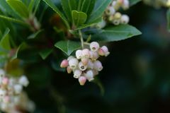 Flowers of a strawberry tree Arbutus unedo. Macro photo of flowers of a strawberry tree Arbutus unedo stock images