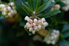 Flowers of a strawberry tree Arbutus unedo. Macro photo of flowers of a strawberry tree Arbutus unedo royalty free stock image