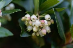 Flowers of a strawberry tree Arbutus unedo. Macro photo of flowers of a strawberry tree Arbutus unedo stock photography