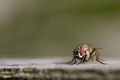Macro photo of a fly known as Housefly Stock Photography