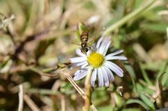 A macro photo of a fly that mimics a bee sucking nectar from a small wild flower. Royalty Free Stock Photos