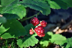 Macro photo. Forest red autumn berries. Their beauty is enhanced by green leaves and grass Stock Image