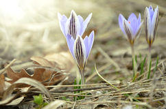 Macro photo of the four of crocus Royalty Free Stock Image