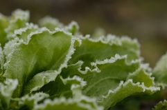 Frozen endive plant. A macro photo of frozen endive plant in a vegetable garden Royalty Free Stock Photos