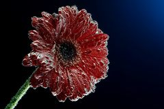 Macro photo of gerbera flower in the mineral water that bubbles covered petals Royalty Free Stock Photo