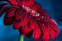 Macro photo of gerbera flower with water drop Royalty Free Stock Images