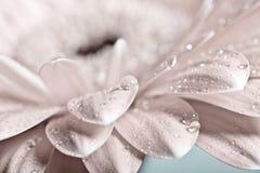 Macro photo of gerbera flower with water drop. stock image