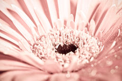 Macro photo of gerbera flower with water drop. Floral background stock photo