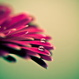 Macro photo of gerbera flower with water drop. Royalty Free Stock Photography