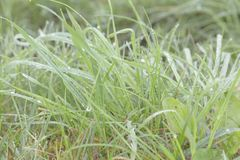 Grass on early morning with moisture and drop on. Macro photo on grass with drolets on, high key resolution low color, bakground material royalty free stock photos
