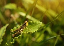 Macro photo of a grasshopper in summer Royalty Free Stock Image
