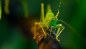 Macro Photo Of the great green bush-cricket royalty free stock images
