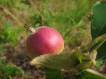 Macro photo with green Apple on the branch of a wild fruit tree Stock Photo