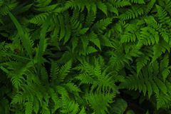Macro Photo of green fern petals. Fern on the background of green plants royalty free stock photo
