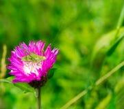 Macro photo of green grasshopper in the flower cornflower Royalty Free Stock Photos