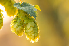 Macro photo of green hops Stock Images