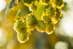Macro photo of green hops Royalty Free Stock Photos