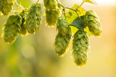 Macro photo of green hops Royalty Free Stock Images