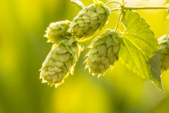 Macro photo of green hops Stock Photos