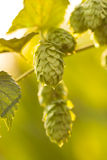 Macro photo of green hops Royalty Free Stock Photo