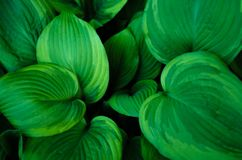 Macro photo of green host plant petals. Perfect natural pattern. Beautiful background made with big leaves plants. Ecology concept stock photography