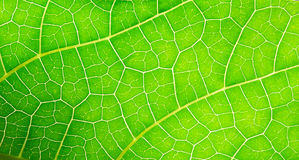 Macro photo of green leaf Stock Image