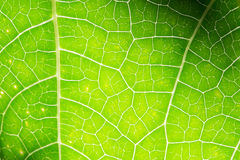 Macro photo of green leaf Royalty Free Stock Image