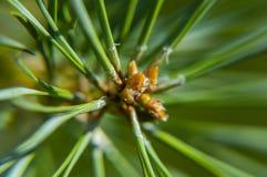 Macro photo of a green pine tree. Macro photo of green pine Christmas tree - background stock photo