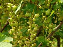 Macro photo with green unripe berries of black currant on the branches of the Bush Stock Image