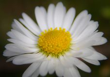 Elegant centered daisy stock images