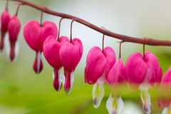 Macro photo of hearted-shaped flower blossoms Stock Photography