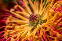 Abstract macro photo of heath leaved banksia flower