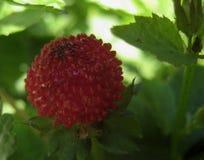 Macro photo herbaceous perennial ornamental plants Duchesnea indica false strawberry or royalty free stock image