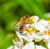 Honey bee is collecting pollen from white flower. Macro photo of honey bee that is collecting pollen from white flower stock photos
