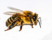 Macro photo of honey bee royalty free stock photos