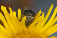 Macro photo of a horsefly on a yellow flower. Faceted eyes Royalty Free Stock Images