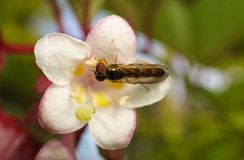 A macro photo of a Hoverfly on a beautiful white and pink flower Royalty Free Stock Photo