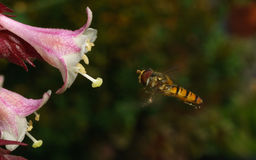 A macro photo of a Hoverfly hovering near a beautiful white and pink flower Stock Image