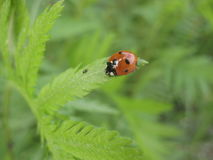 Macro photo of an insect Coccinellidae in natural conditions Stock Image