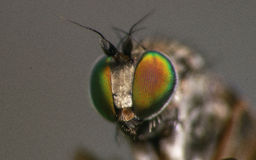 Macro photo of an insect, a Dolichopodidae fly Royalty Free Stock Images