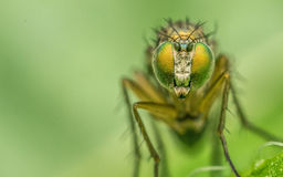 Macro photo of an insect, a Dolichopodidae fly Royalty Free Stock Photo