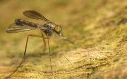 Macro photo of an insect, a Dolichopodidae fly Stock Photo