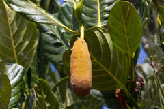 Macro photo jack fruit on tree in the Canary Islands, Tenerife Stock Photo