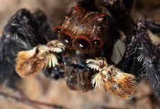 Macro Photo of Jumping Spider Isolated on The Soil. Macro Photography of Jumping Spider Isolated on The Soil royalty free stock images